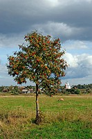 Mountain ash tree on meadow and Russian town Suzda