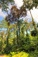 Trees in Primary Dipterocarp Rainforest, Danum Valley Conservation Area, Borneo, Sabah, Malaysia