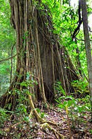 Tree Trunk in Primary Dipterocarp Rainforest, Danum Valley Conservation Area, Borneo, Sabah, Malaysia