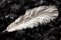 white ostrich feather