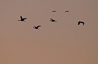 Common Crane Grus grus _ Lac du Der Chantecoq, Champaubert, Haute_Marne, Champagne_Ardenne, France, Europe