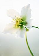 Helleborus niger hybrid, Hellebore