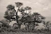 Giant acacias, Senegal