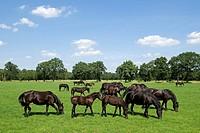 Frisian Horse Equus spp _ Salland, Overijssel, The Netherlands, Holland, Europe