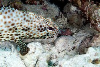 Greasy grouper ephinephelus tauvina in the Red Sea.
