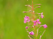Schmalblättriges Weidenröschen / Chamerion augustifolium / Fireweed