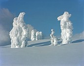 Trees covered in snow on a mountain slope, Mount Seymour, Vancouver, British Columbia, Canada