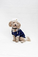 A mixed breed dog wearing a sailor suit and sailor hat