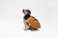 A Yorkie wearing a hotdog costume