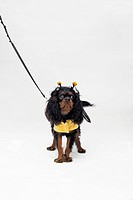 A Cavalier King Charles Spaniel wearing a bee costume