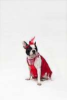 A French Bulldog wearing a red flapper costume
