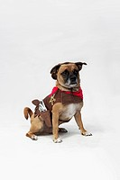 A mixed Pug and Jack Russell Terrier wearing a Sheriff's costume (thumbnail)