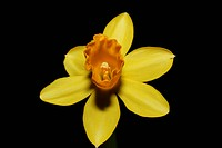 narcissus daffodil