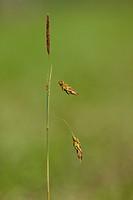 Bog_sedge Carex limosa _ Naturpark Feldberger Seenlandschaft, Mechow, Mecklenburg_Strelitz, Mecklenburg Western Pomerania, Mecklenburg_Vorpommern, Ger...