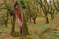 La Sauceda, Cork oak, Los Alcornocales Natural Park  Malaga province, Andalusia, Spain.