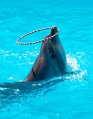A young dolphin playing in the blue water with a hoop