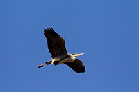Grey Heron Ardea cinerea in flight, Germany