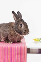 Rabbit on table, close up