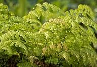 Adiantum raddianum, Fern, Maidenhair fern