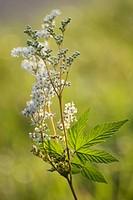 Filipendula ulmaria, Meadow sweet