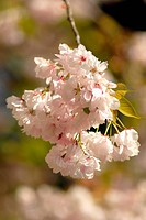 Prunus ´Shujaku´, Cherry
