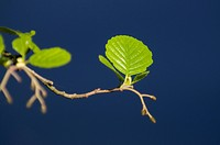 Leaves of a beech tree