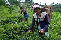 Women plucking tea, Fikkal, Nepal, Asia