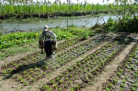 Farmer watering his vegetable garden, Ye Saing Kone village near Labutta, Irrawaddy Delta, Myanmar Burma, Asia