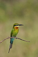 Blue_tailed Bee_eater Merops philippinus, Uda Walawe National Park, Sri Lanka, Asia