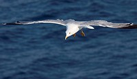 Beautiful white seagull flying over deep blue wave