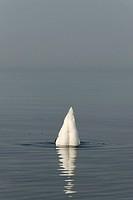 Diving swan
