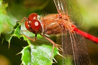 Close_up of a red dragonfly