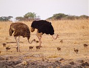 two adult ostriches Struthio camelus and nine ostrich chicks in meadow of Tarangire National Park, Tanzania