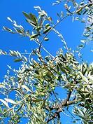 olive tree, tuscany italy