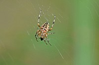 European Garden Spider or Cross Orbweaver (Araneus diadematus)