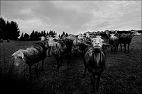 herd of sheep auvergne