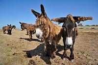 Poitou donkey / Poitevin donkeys / baudet de Poitou with shaggy coat in field on the island Ile de Ré, Charente_Maritime, France
