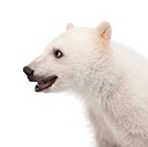 Close_up of a Polar bear cub _ Ursus maritimus 6 months old