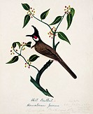 Red_whiskered bulbul Pycnonotus jocosus. This watercolour is plate 42 from ´Neilgherry Birds and Miscellaneous´ 1858 by the Indian_born British artist...