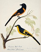 Scarlet minivet Pericrocotus flammeus male and female. This watercolour is plate 21 from ´Neilgherry Birds and Miscellaneous´ 1858 by the Indian_born ...