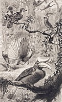 Malayan forest birds. Plate 9 from Alfred Russel Wallace´s ´The Geographical Distribution of Animals´ 1876.