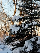 Winter fir_tree