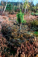 Mutant fir tree near Chernobyl. Mutated growth in a fir tree in the contaminated area following the Chernobyl nuclear power station disaster. On 26 Ap...