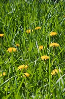 Flowering yellow dandelions Taraxacum officinale