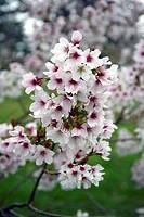 Hatazakura cherry blossom