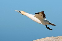 Cape gannet Morus capensis taking off. These seabirds nest in colonies on rocky cliffs and islands on the southern coasts of Africa. They feed on fish...