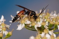 Ichneumon wasp superfamily Ichneumonoidea feeding on common hogweed Heracleum sphondylium flowers. Photographed in the UK, in July.