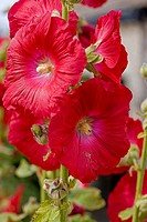 Hollyhock Alcea rosea flowering in summer.