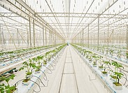 Industrial greenhouse. Tomato seedlings at the Teplichnoye factory farm, Yekaterinburg, Russia.