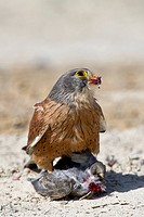 Rock kestrel Falco rupicolus juvenile feeding on a bird. This kestrel is found in central to southern Africa, as far north as Angola, Zaire and Tanzan...